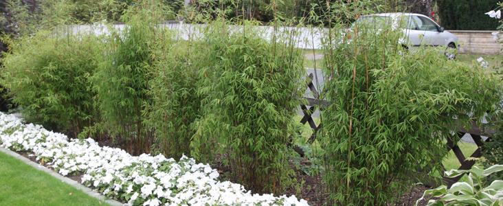 Als Nummer 1 Empfehlen Wir Ihnen Den Absolut Winterharten Und Sehr Wüchsige  Bambus Fargesia Aus Dem U0027Tal Der Verlassenen Dörferu0027, Chinas Nationalpark  Jiu ...