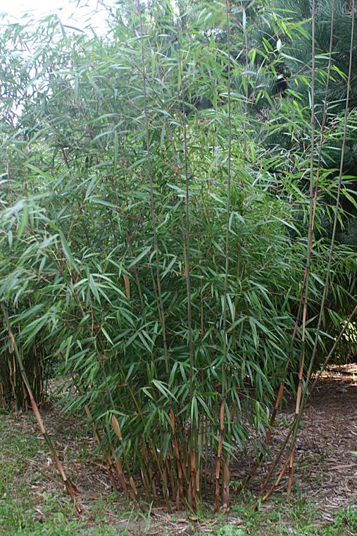 bambus pflanzenshop fargesia scabrida 39 die sch ne 39 kaufen. Black Bedroom Furniture Sets. Home Design Ideas