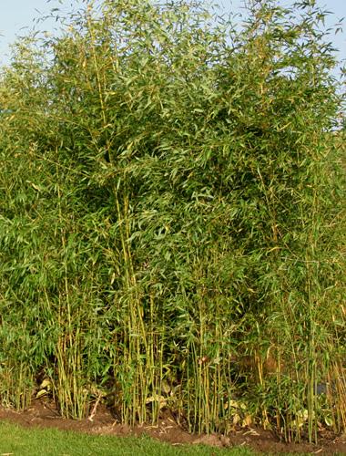 bambus pflanzenshop phyllostachys aureosulcata klon abs. Black Bedroom Furniture Sets. Home Design Ideas