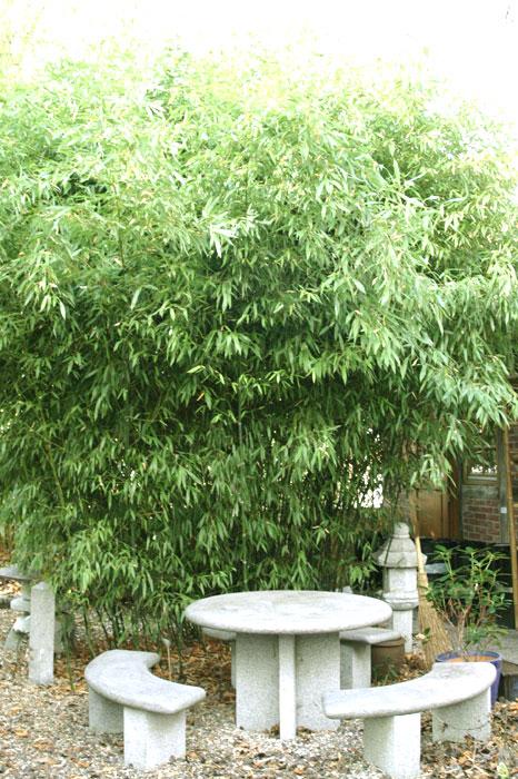 bambus pflanzenshop phyllostachys nuda kaufen. Black Bedroom Furniture Sets. Home Design Ideas